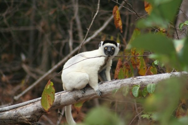 A lemur, posing for the camera